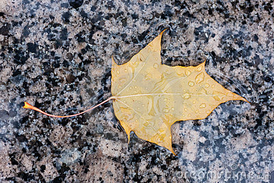 Wet yellow autumn leaf