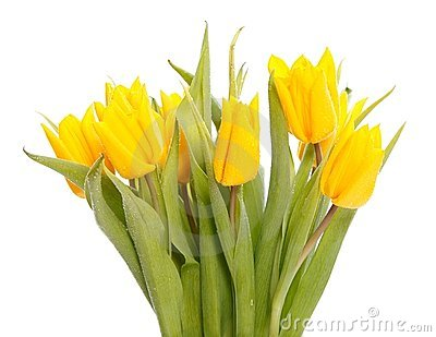 Wet yellow tulips