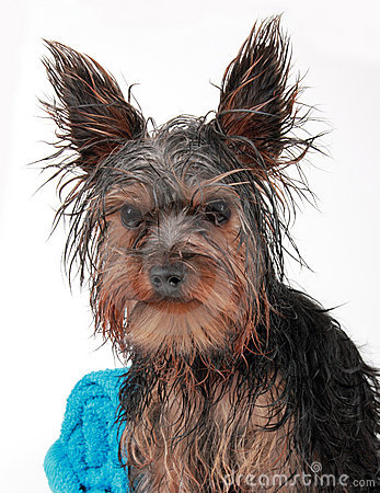 Wet Yorkshire terrier