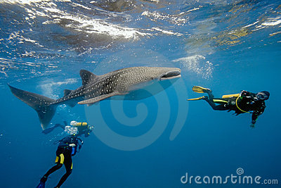 Whale shark and divers from maldives