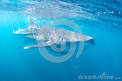 Whale shark feeds in blue water