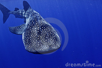 Whale shark head on