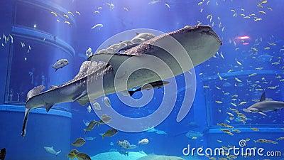 Whale shark in Osaka Aquarium