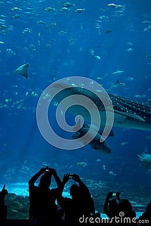 Whale Shark Spectators at The Aquarium Editorial Stock Image