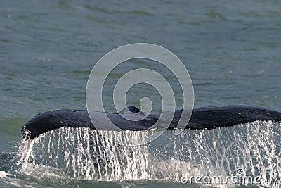 Whale Tail Alaska