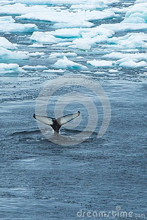 Free Whale Tail Between Ice - Wallpaper Royalty Free Stock Image - 103149576