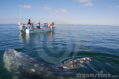 Whale watching San Ignacio Lagoon Baja California Editorial Image