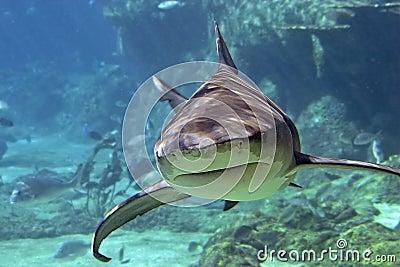 Whaler-Shark