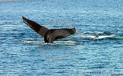 Whales- Mother With Young