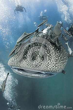 Free Whaleshark And Diver Stock Images - 28525664