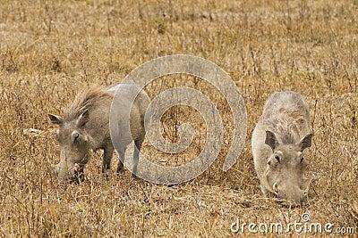 Wharthogs eating