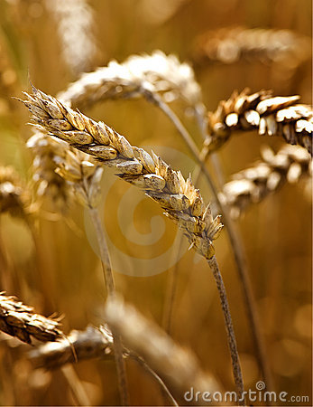 Free Wheat Stock Image - 10809801