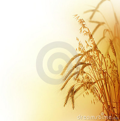 Free Wheat Stock Photography - 11804292