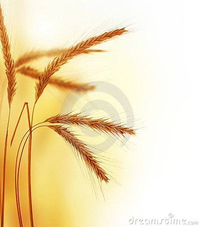 Free Wheat Royalty Free Stock Photography - 11804317