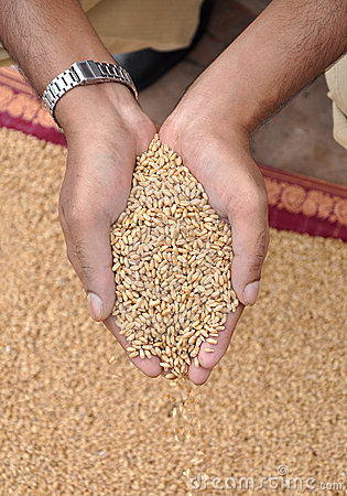 Free Wheat Royalty Free Stock Photography - 13897297