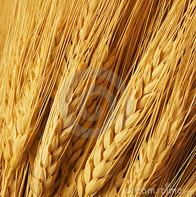 Free Wheat Royalty Free Stock Images - 1723539