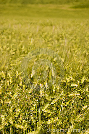 Wheat in Norway