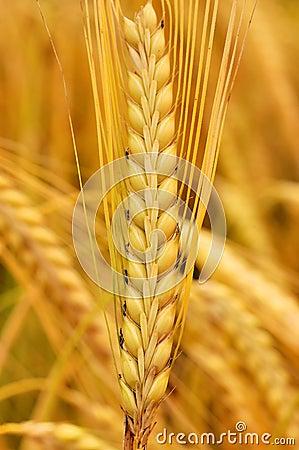Free Wheat Stock Image - 2437941