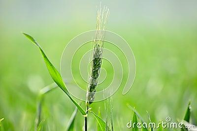 A wheat