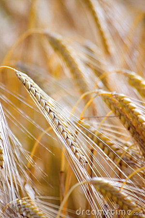 Free Wheat Royalty Free Stock Photography - 2765167