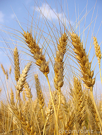 Free Wheat Royalty Free Stock Images - 288169