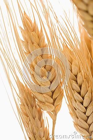 Free Wheat. Royalty Free Stock Photo - 3532125