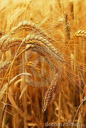 Free Wheat Royalty Free Stock Images - 3983649