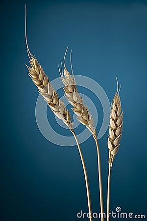 Free Wheat Royalty Free Stock Photo - 941725