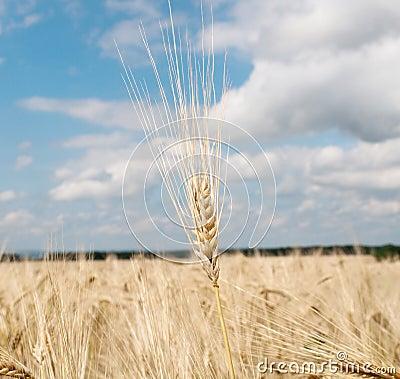 Wheat against