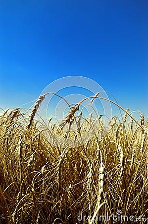 Wheat against blue sky