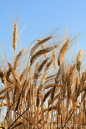 Wheat against sky background