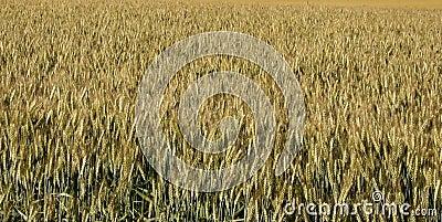 Wheat backgound