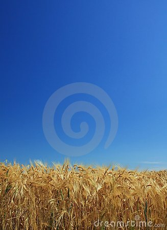 Wheat background blue sky