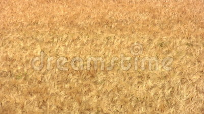 Wheat background stock video