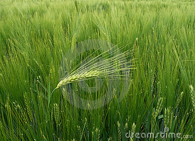 Wheat - barley ear against the wind