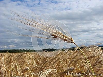 Wheat bio fuel
