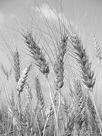 Wheat (black and white)