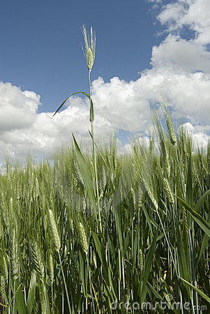 Free Wheat Blade Royalty Free Stock Images - 5277159