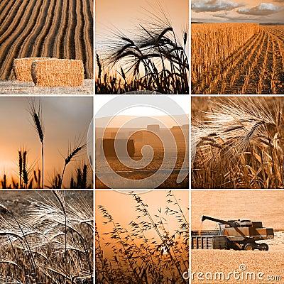 Free Wheat Collage Stock Photos - 3185503