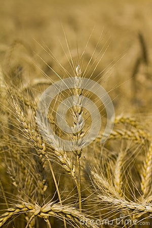 Wheat or corn