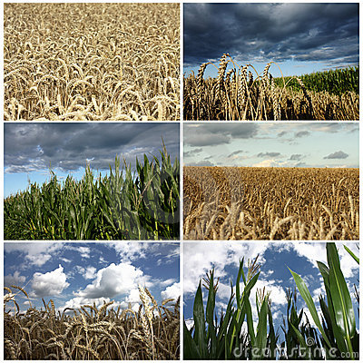 Wheat and corn field crop details collage