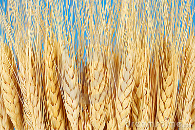Wheat crop agriculture & farming concept