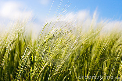 Wheat crop blowing in the wind