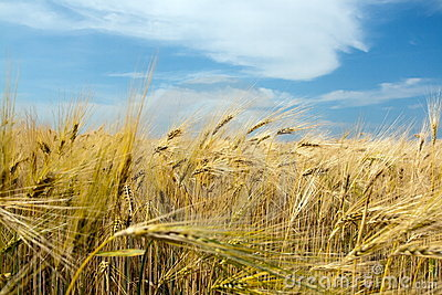 Wheat Crop Closeup Stock Images - Image: 15020324