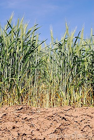 Wheat in Dry Fields