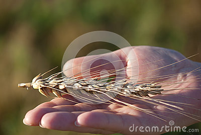 Wheat ear in hand