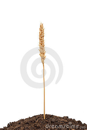 Wheat ear in soil