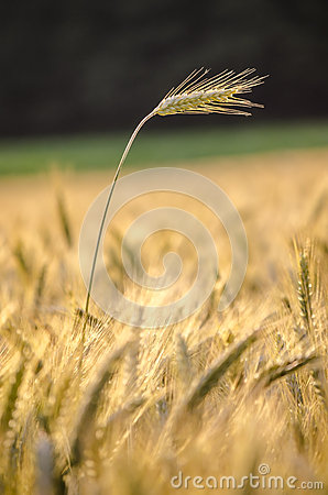 Wheat ear standing out of wheat field