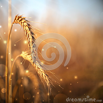Free Wheat Ears Royalty Free Stock Photography - 26185257