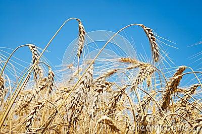 Wheat ears against sky